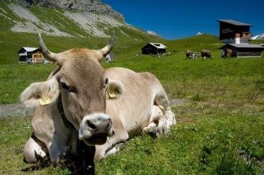 Kuh in Melchsee-Frutt